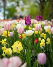 Free Depth Of Field Photography Of Tulip Flowers Royalty Free Stock Photography - 116776307