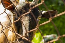 Free Close-up Photo Of Brown Goat Beside Grey Cyclone Wire Royalty Free Stock Photography - 116776327