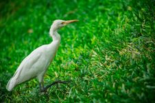 Free White Bird On Grass Stock Photos - 116776483