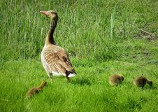 Free Bird, Ecosystem, Fauna, Goose Stock Images - 116789364