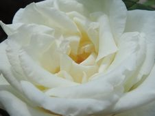 Free Flower, Rose, White, Rose Family Stock Photography - 116789542