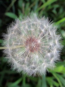 Free Flower, Plant, Flora, Dandelion Royalty Free Stock Images - 116789549