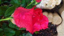Free Flower, Rose, Rose Family, Petal Royalty Free Stock Image - 116789566