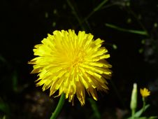 Free Flower, Yellow, Dandelion, Sow Thistles Royalty Free Stock Images - 116789629