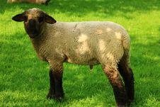 Free Sheep, Pasture, Grassland, Grass Stock Image - 116789821