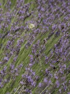 Free English Lavender, Lavender, Plant, Flower Stock Photo - 116789890