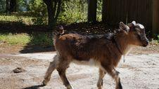 Free Goats, Goat, Cow Goat Family, Feral Goat Stock Photos - 116790063