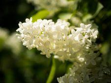 Free Flower, Plant, Spring, Hydrangea Stock Photography - 116790222