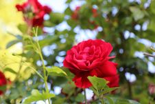 Free Flower, Rose, Red, Rose Family Royalty Free Stock Image - 116790326