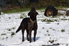 Free Dog Like Mammal, Dog, Dog Breed, Dog Breed Group Royalty Free Stock Image - 116790556