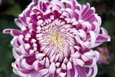 Free Chrysanthemum Bloom Royalty Free Stock Images - 11681249