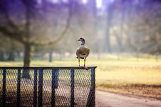 Free Selective Focus Photography Of Goose Perched On Chain Link Fence Royalty Free Stock Photos - 116854008