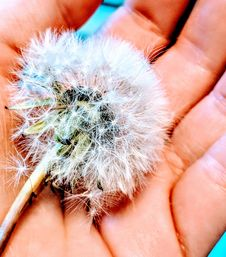 Free White Dandelion On Person S Hand Stock Images - 116854034