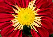 Free Red And Yellow Zinnia Flower In Macro Photo Royalty Free Stock Photography - 116854057