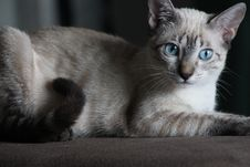 Free Siamese Cat On Brown Surface Stock Photography - 116854062