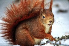 Free Brown Squirrel Above Snow At Daytime In Selective Focus Photo Royalty Free Stock Image - 116854106