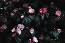 Free Pink Flowers Photograph Royalty Free Stock Photos - 116854318