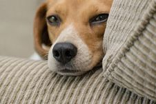 Free Close-up Photo Of Beagle Resting Head On Armrest Stock Photo - 116854360