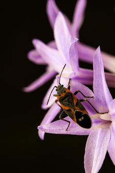 Free Milkweed Bug Perching On Pink Flower In Close-up Photography Stock Photography - 116854372