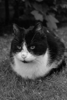 Free Cat, Whiskers, White, Black And White Royalty Free Stock Images - 116884469
