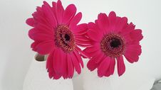 Free Flower, Flowering Plant, Pink, Gerbera Stock Photography - 116884552