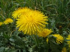 Free Flower, Dandelion, Sow Thistles, Yellow Stock Images - 116884554