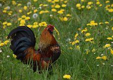 Free Chicken, Ecosystem, Bird, Galliformes Stock Images - 116884734
