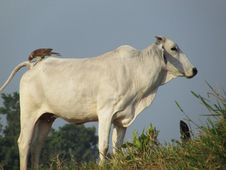 Free Cattle Like Mammal, Dairy Cow, Cow Goat Family, Fauna Stock Photos - 116884763