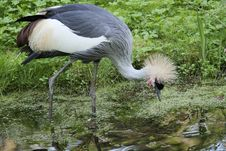 Free Bird, Crane Like Bird, Crane, Beak Royalty Free Stock Images - 116884769