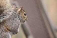 Free Squirrel, Mammal, Fauna, Fox Squirrel Royalty Free Stock Photos - 116884948