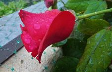 Free Rose, Rose Family, Flora, Flower Stock Photography - 116885002
