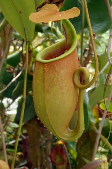 Free Pitcher Plant, Carnivorous Plant, Plant, Flora Royalty Free Stock Image - 116885226