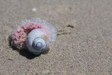 Free Seashell, Close Up, Sea Snail, Organism Royalty Free Stock Photo - 116885285