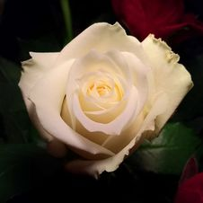 Free Flower, Rose, Rose Family, White Royalty Free Stock Photography - 116885507