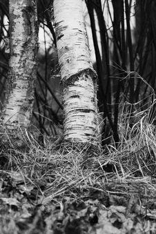 Free Tree, Black And White, Woody Plant, Monochrome Photography Stock Photo - 116885530