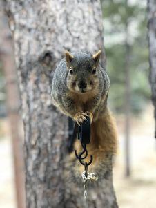 Free Squirrel, Mammal, Fauna, Fox Squirrel Royalty Free Stock Photos - 116885548