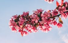 Free Pink Flower Tree Under Blue Sky Stock Images - 116927764