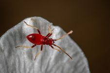 Free Macro Photo Of Red Assassin Bug On White Textile Royalty Free Stock Photography - 116927847