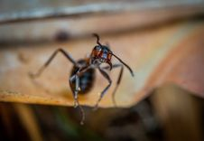 Free Macro Photo Of Brown Army Ant Royalty Free Stock Photo - 116927905
