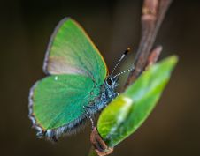 Free Cloudless Sulphur Butterfly Perched On Brown Plant Stem Royalty Free Stock Images - 116927909
