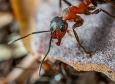 Free Macro Photo Of Red And Brown Army Ant Stock Photos - 116927913