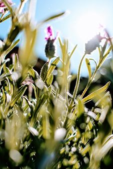 Free French Lavender Flowers Selective-focus Photography At Daytime Stock Photo - 116927920