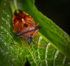 Free Macro Photography Of Red Stink Bug Perched On Green Leaf Royalty Free Stock Photos - 116927928