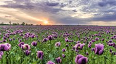 Free Photography Of Field Of Purple Flowers Stock Photos - 116927943
