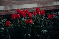 Free Bed Of Red Tulip Flowers Stock Photo - 116984510