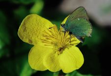 Free Green Butterfly On Rapeseed Flower Stock Image - 116984661