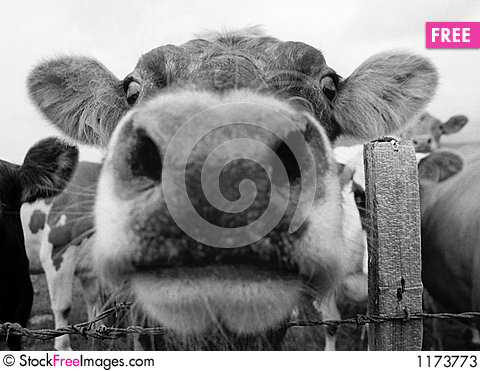 Cow mouth 1 Stock Photo