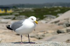 Free Seagull At Peggy S Cove Stock Photography - 1171462