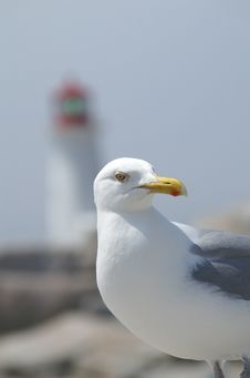 Free Seagull With Lighthouse Stock Photo - 1171500