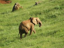 Free Elephant Walking Stock Photo - 1172970